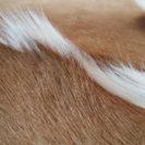Springbok-huid-dutchskins