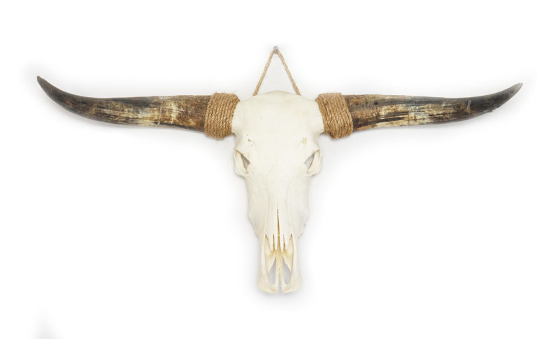 Longhorn schedel B