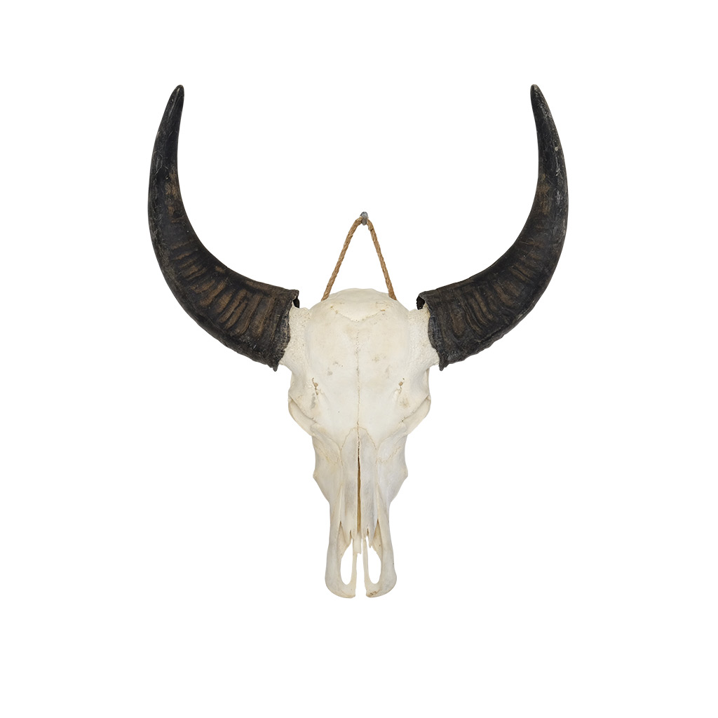 Waterbuffel schedel B