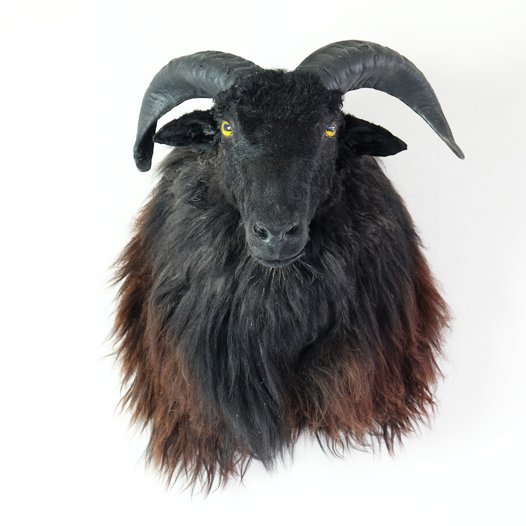 Opgezette schapenkop