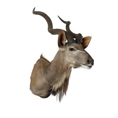 kudu kop opgezet