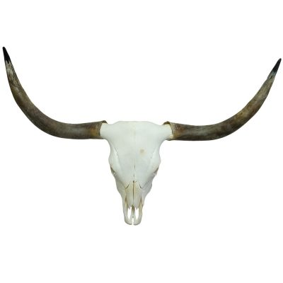 scottish highlander skull
